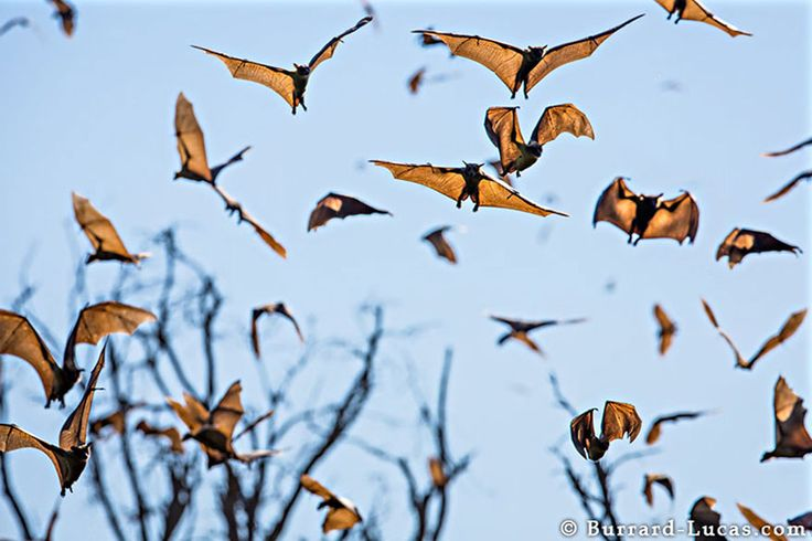 Fruit Bats in Zambia