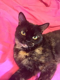 Pictures of Curie a Persian for adoption in Hammond, LA who needs a loving home.
