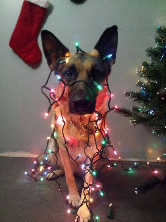 german shepherd wrapped in christmas lights - Dog Christmas Lights