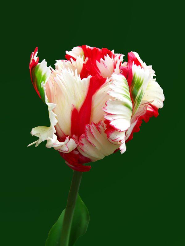 Gorgeous Parrot Tulip                                                                                                                                                      Mais