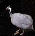 Guinea Fowl for Sale | White African Guinea Hatchery | Raising Guinea
