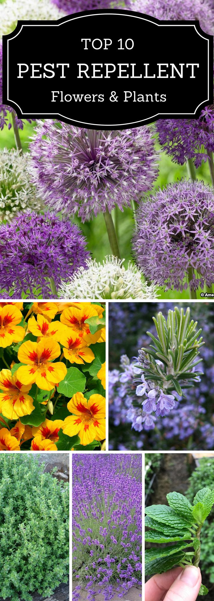 Top 10 Bug Repelling Flowers That Keep Pests Out Of Your Garden | Top 10 Pest Repellant Flowers & Plants | Add these 10 plants into your garden to avoid bugs and pests.