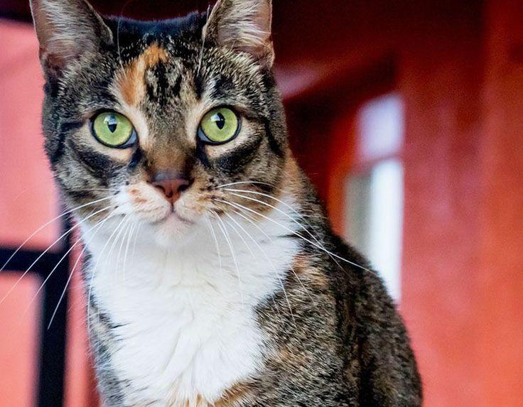 NOMBRES PARA GATAS TRICOLOR - Listado completo de nombres de gatas calico y tricolres súper inspiradores! Ya que las gatas tricolores son tan especiales,