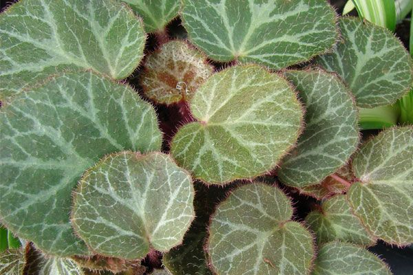 How To Grow And Care For Strawberry Begonia Strawberry Plants Benefits Of Indoor Plants Goldfish Plant