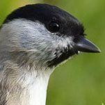 Glanskop – Poecile palustris – Marsh Tit – de Vogeldagboeken van Adri de Groot