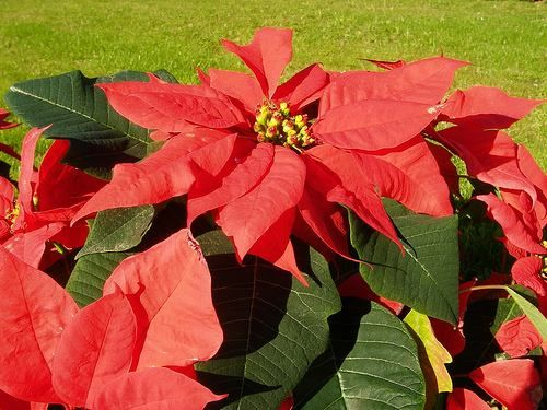 se la conoce como Flor de Pascuas, Estrella Federal, Flor de Navidad y su nombre científico es Euphorbia Pulcherrima.
