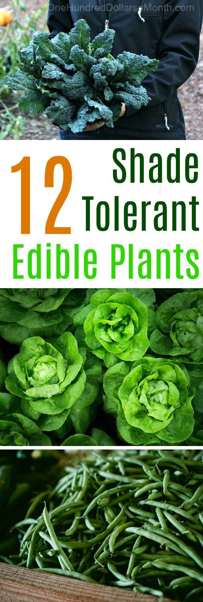 Shade Tolerant Edible Plants, Shade Garden Ideas, Gardening in the Shade, Edible Plants, Edible Shade Plants, Gardening Tips, Gardening