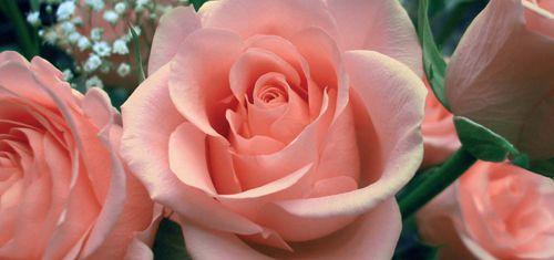 A rózsavíz elkészítése és felhasználása - Herbáció Magazin