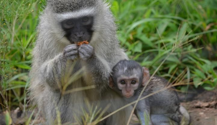 So cute!!  Learn more about the plight of these hyper intelligent primates at this amazing volunteer program!