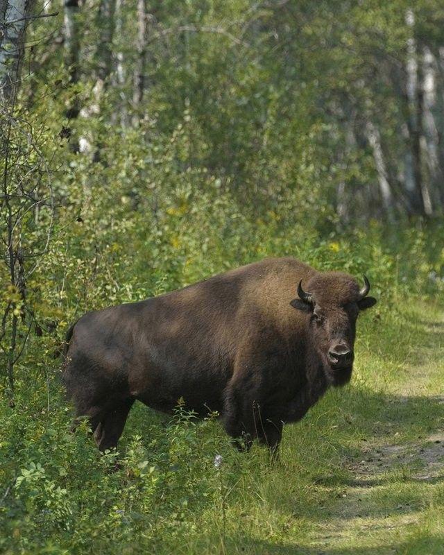 Prince Albert National Park - Buffalo pound
