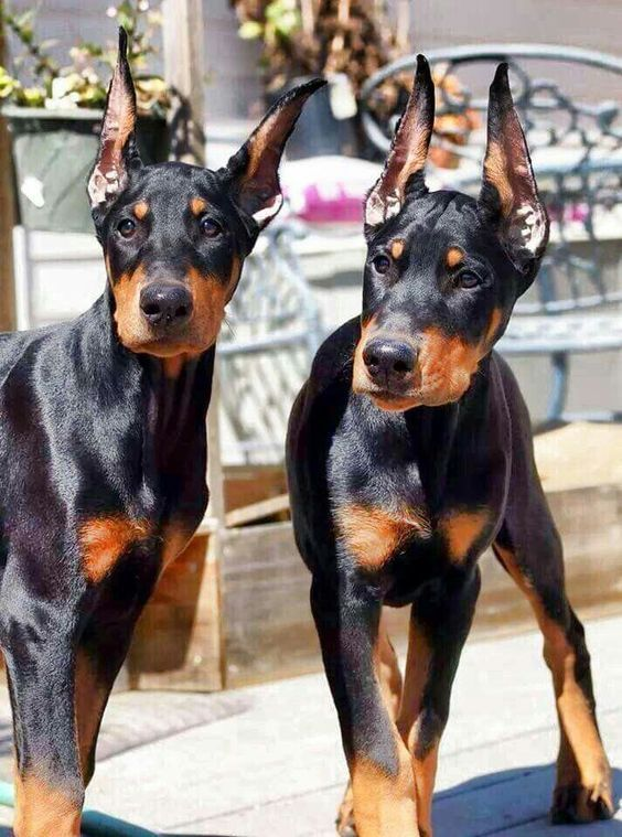 These Doberman buddies are hanging out, so sweet
