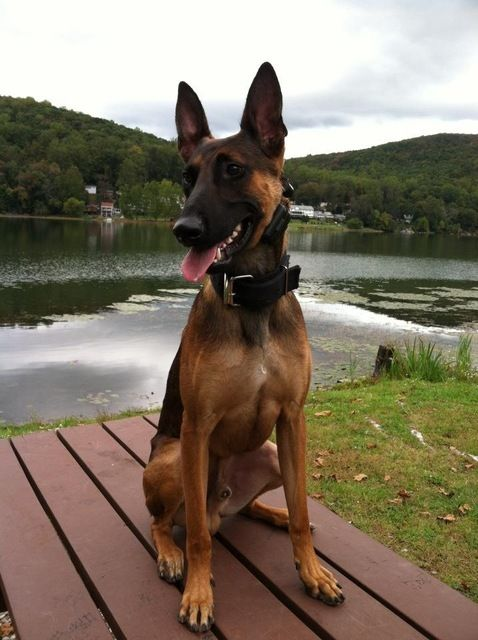 Pictures of Belgian Malinois Dog Breed
