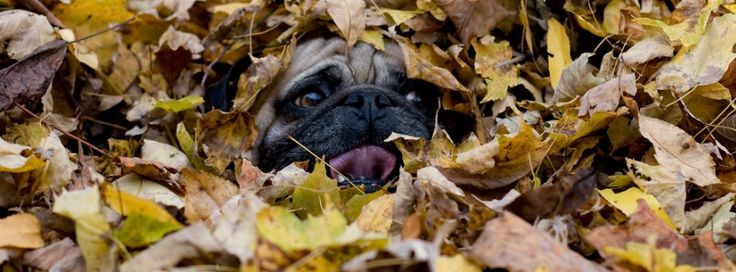 Pug Holiday Themed Facebook Cover Photos For Your Timeline. Pug Thanksgiving / Fall Facebook Cover Photo