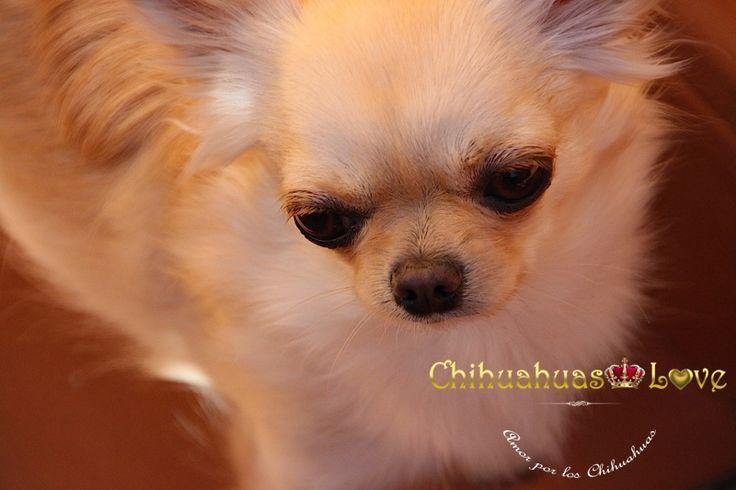 pelo laro chihuahuas