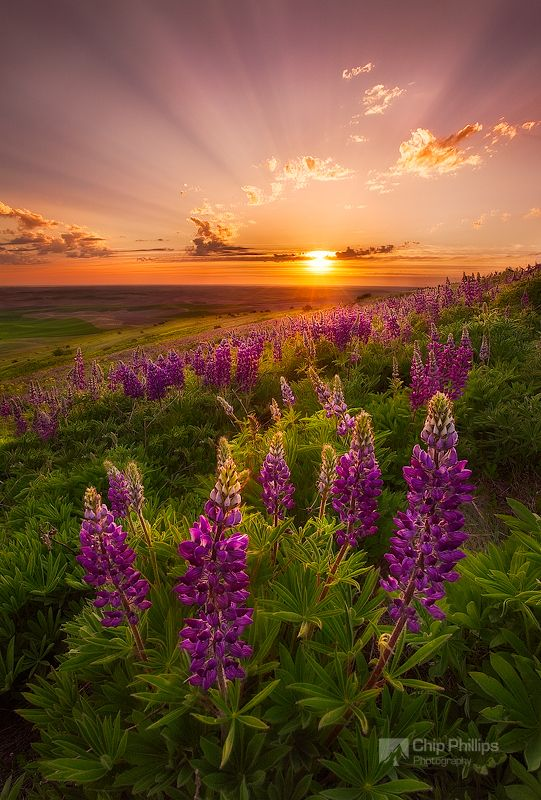 "Palouse Lupine Rays by Chip Phillips, via 500px. ""Crepuscular rays and spring wildflowers in the Palouse Region of Washington State."""