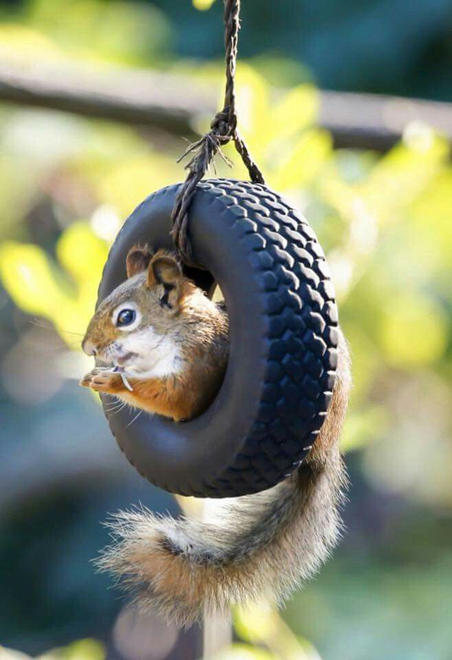 Swinging in a tire is not an act of ire. This little squirrel just wants a twirl, at swinging in this tire.