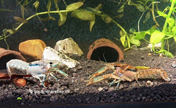 Procambarus youngi