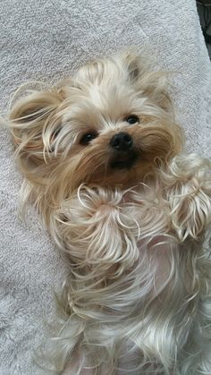 Yorkie waiting for a belly rub