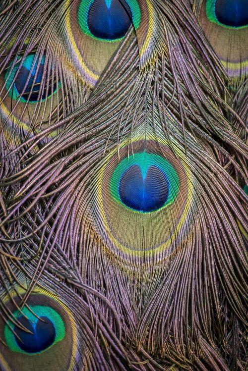 Ocelle d'une plume de Paon (Pavo muticus) for Deyrolle