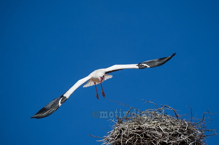 Storch fliegt vom Nest weg. Die Brutzeit 2015 hat begonnen.