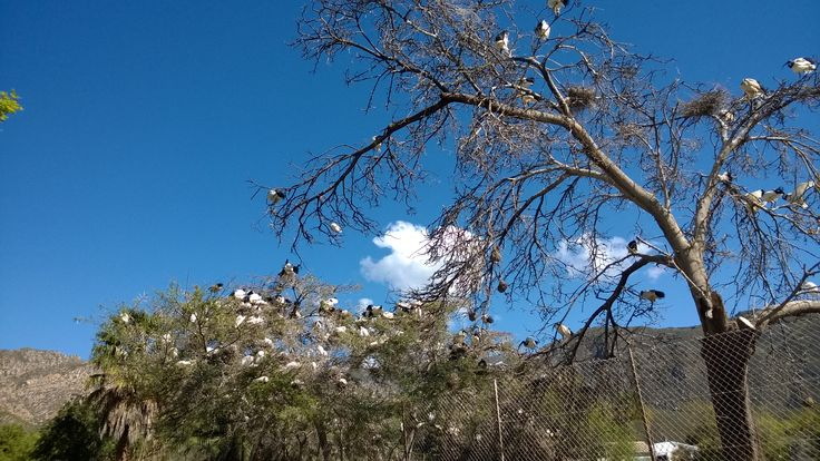 A treefull of Sacred Ibis's in the town Montagu, Western Cape, South Africa. By Exclusive Getaways