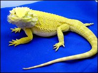 Bearded Dragon Breeders - Fire and Ice Bearded Dragons For Sale great care info!!!