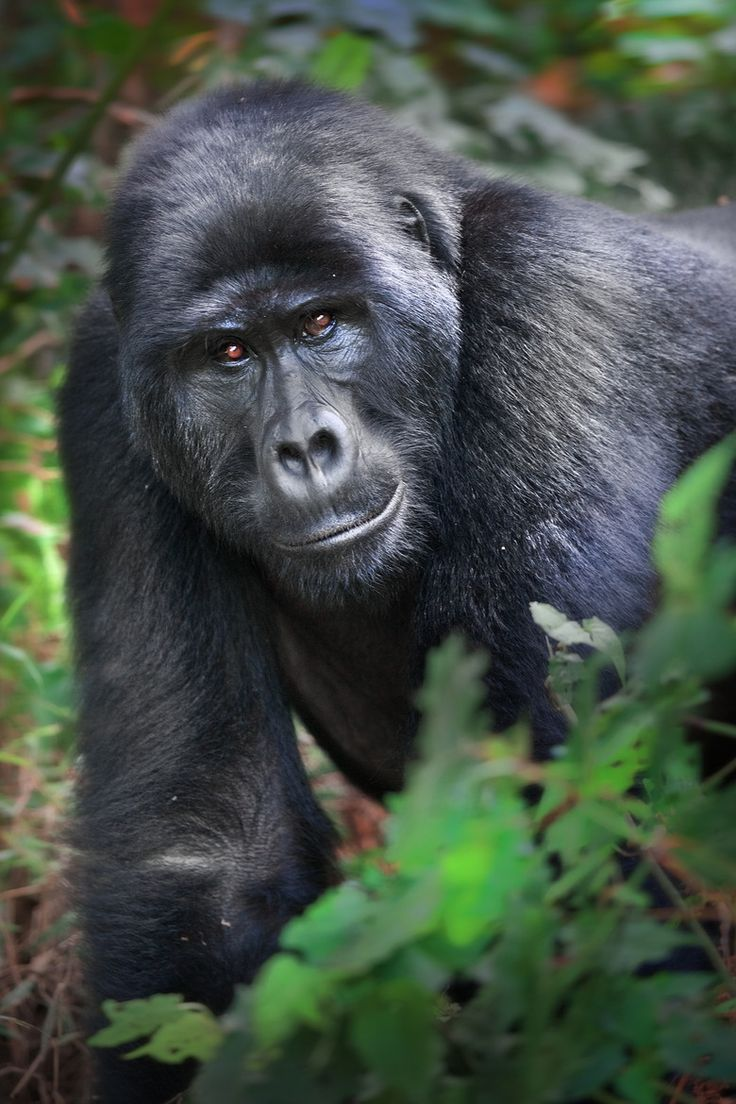 African mountain animals - There Are Roughly 700 Mountain Gorillas Remaining On Earth Here Your Looking For Me By David Hobcote On