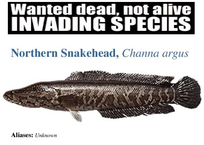 Snakehead Fish Found in Virginia and Maryland. Invasive species causes environmental damage.