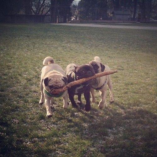 Pug teamwork