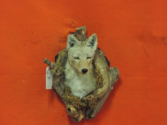 Coyote Taxidermy Den Mount Real Coyote Coyote Mount Coyote Etsy In 2020 Coyote Mounts Taxidermy Funny Taxidermy