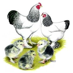 Light Brahma Chickens for Sale