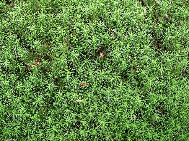 Hair moss--Polytrichum commune by msitua, via Flickr