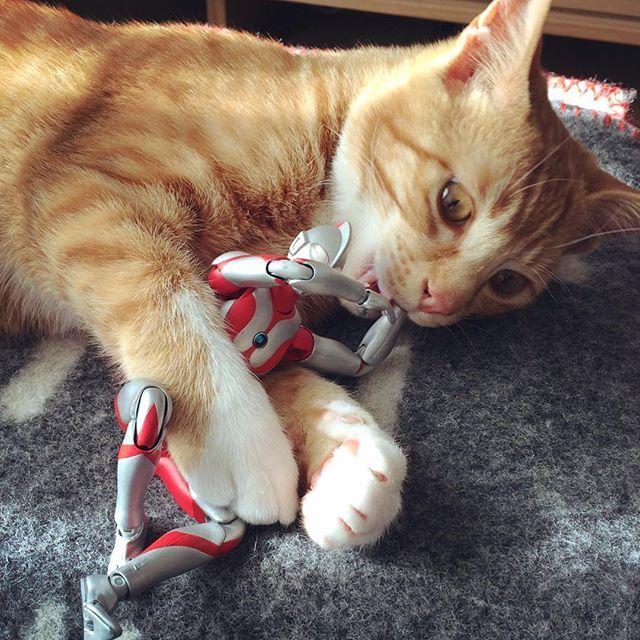 いたたたたたた #猫 #子猫 #茶トラ #cat #kitten