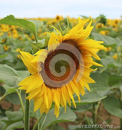 A sunflower on a sunflower-field