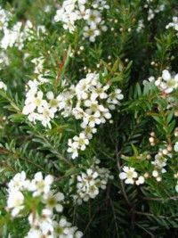 Dwarf Heath Myrtle 0.3m x 0.5m semi shade, tolerates dry periods, frost, and poor soil