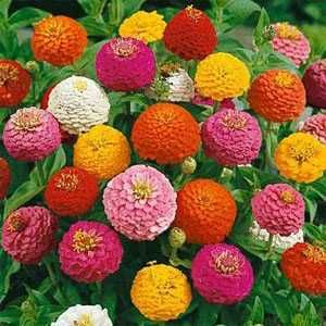 zinnias for this summer!