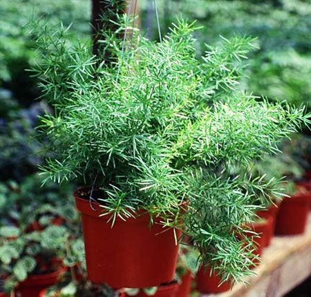asparagus fern - durable filler/cascading container plant