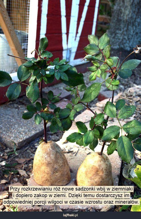 Sprytny sposób na rozkrzewianie róż - Przy rozkrzewianiu róż nowe sadzonki wbij w ziemniaki i dopiero zakop w ziemi. Dzięki temu dostarczysz im odpowiedniej porcji wilgoci w czasie wzrostu oraz minerałów.