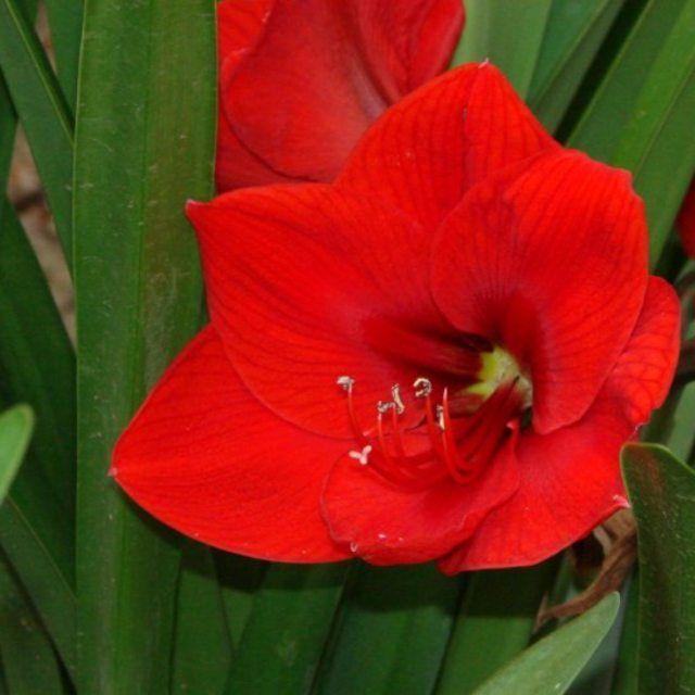 Respiro y me conecto con la raíz con la tierra con la Madre.  Nuestro primer #chakra o vórtice ubicado en el plexo pélvico vibra en este color rojo.  Su nombre en sánscrito #muladhara significa raíz sostén.  Conectarse con la raíz es conectarse con nuestra esencia. #buenosdias  #Namaste  #inspiredbynature #flores #flowers #nature #love #amor #lirios #lillies #goodmorning #zen #buddism