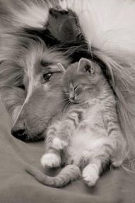 Collie & Kitten HuggingSnuggles, Best Friends, Sweets, Dogs Cat, Pets, Friendship, Cuddling Buddy, Kittens, Animal