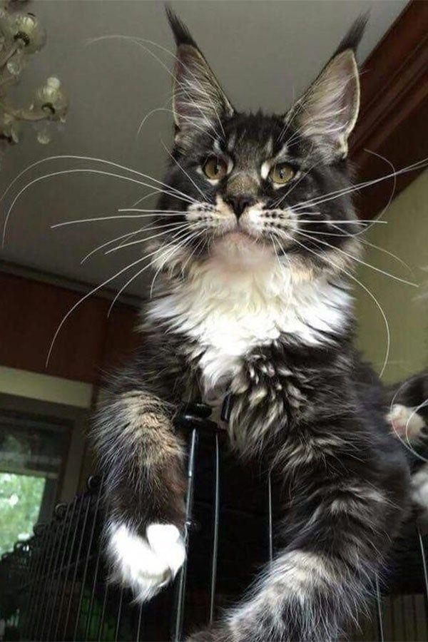 Wie man eine Maine-Waschbär-Katze-Wachstumstabelle hält? (Für Maine Coon Katzen und Kätzchen) – Süße Hundebilder – Sweet Dogs! funny dog pictures! Lustige Hunde!