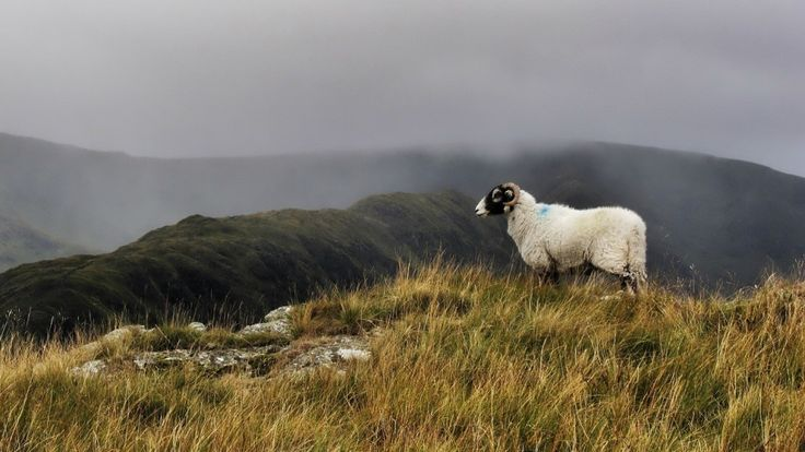 """Our woolly friends are as much a part of the Lake District landscape as the fells and the lakes themselves. Alfred Wainwright certainly seemed to think so dedicating the fourth of his pictorial guides to """"the sheep of Lakeland""""."""