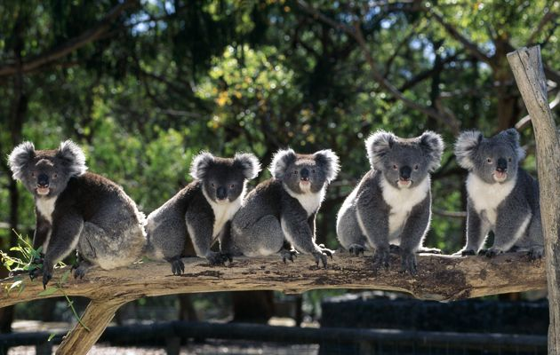 koalas-lrg.jpg