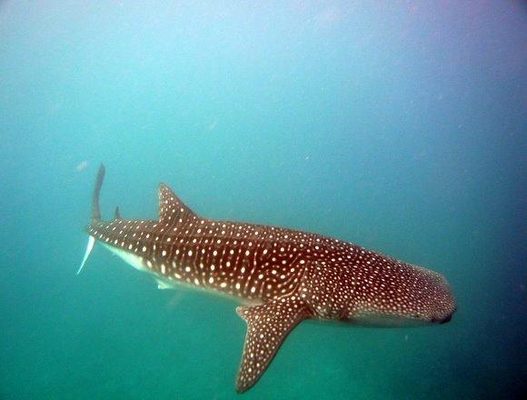 Donsol Whale Shark & Ticao Island Diving 6D5N
