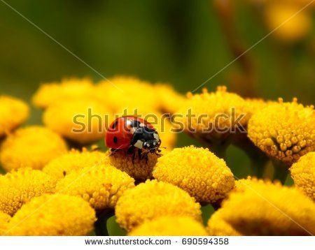 Ladybug on yellow meadow flowers close-up