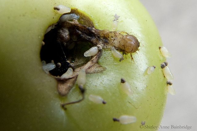 fly larvae | fruit fly larvae on tomato | Flickr - Photo Sharing!
