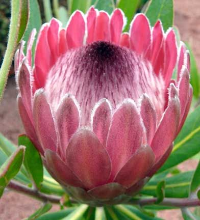 Google Image Result for http://www.cactusjungle.com/blog/wp-content/uploads/2009/10/protea_neriifolia_pink_ice3.jpg