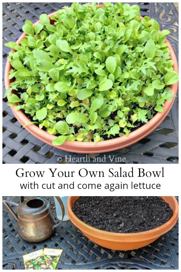 Growing Lettuce In A Container To Create Your Own Salad Bowl Of