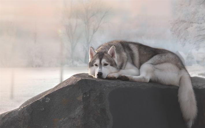 Siberian Husky, stone, pets, Husky, cute animals, Husky Dog, dogs, Siberian Husky Dog