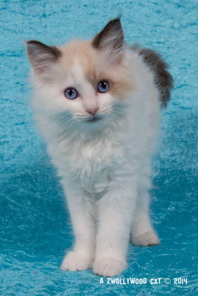 2014: Lightning A Zwollywood Cat. 10 Weeks old Ragdoll kitten, seal bicolour. Cars litter.